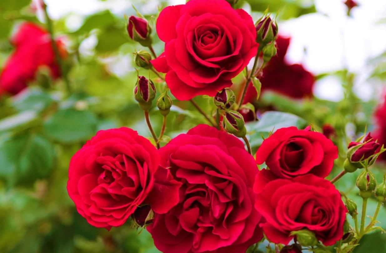 Las rosas rojas, ¿por qué simbolizan el amor? 5
