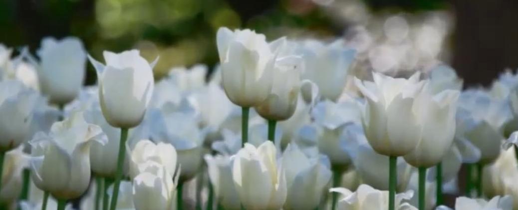 Por qué plantar tulipanes en tu jardín 26